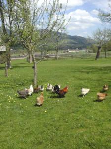 Hühner am Bröcklhof