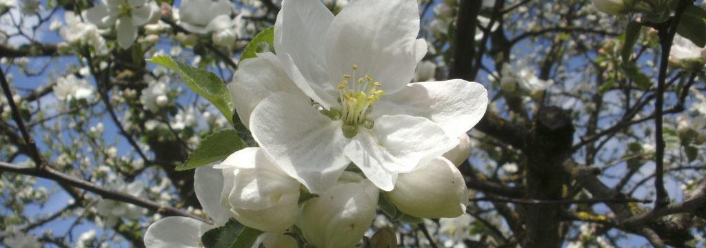Kirschbaum am Bröcklhof